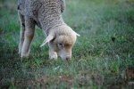 09-grazing-Susan.Gibbs