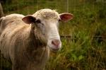 11-sheep-Susan.Gibbs