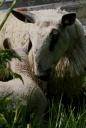 lauras_loom-growing-wool