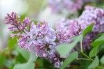 02-lilac