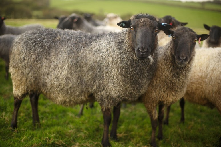 Sue Blacker's Gotland sheep