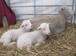 Lesley.Prior-lambs