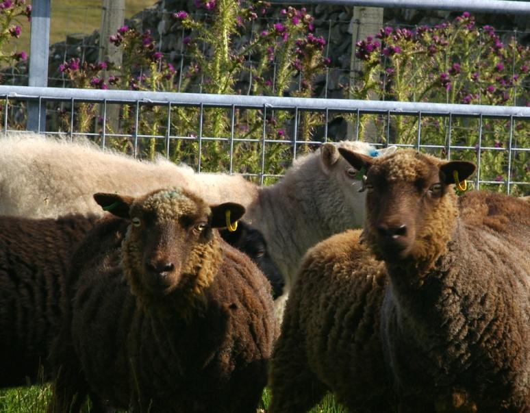 12_shetland_sheep