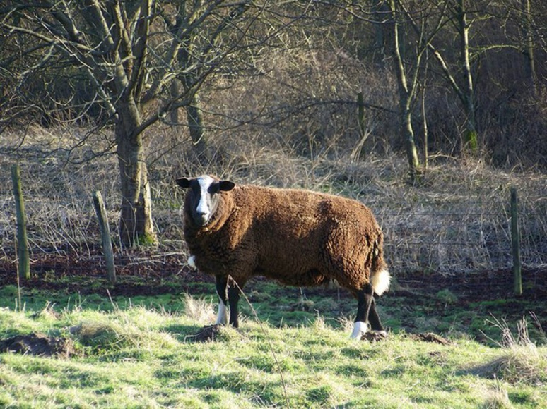 Balwen_Sheep_-_geograph.org