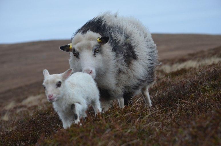 Foula sheep, photo © Magnus Holburn