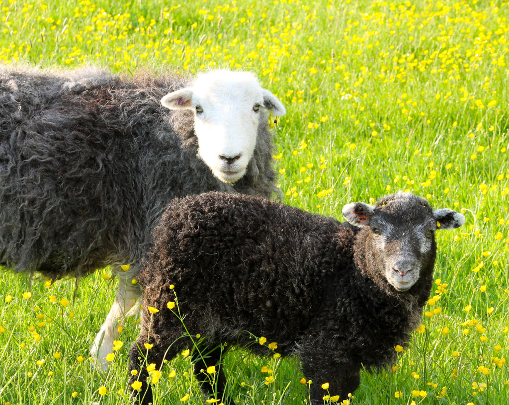 Picture and © Pam Hall – Herdwick sheep from her own flock