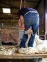 Shearing-Ystrad