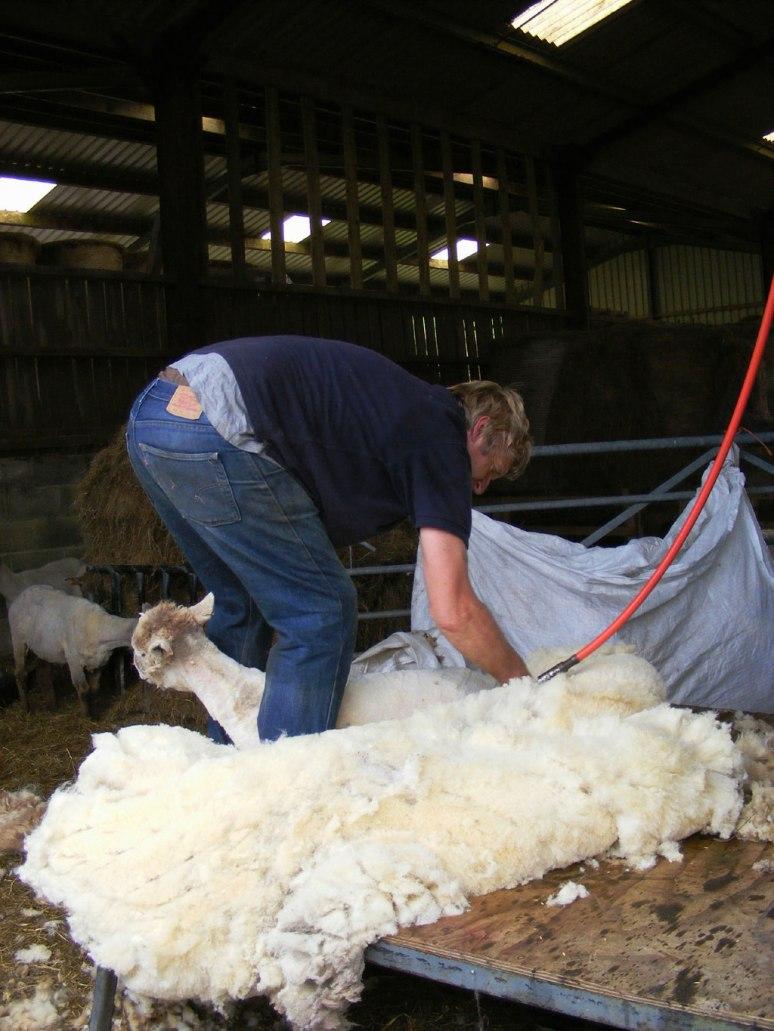 Shearing-Ystrad_02