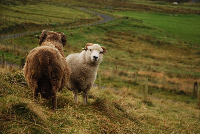 Ronnie Eunson's Shetland rams