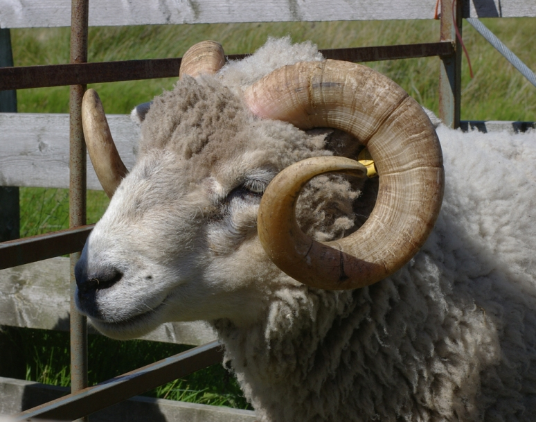 beautiful shetland ram, progenitor of wool