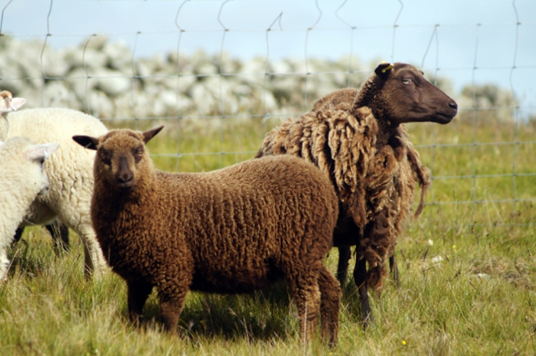 04_Roberstsons_sheep