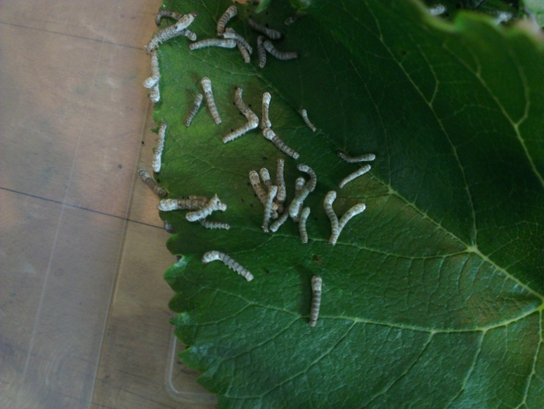 a few days old, see how many fit on a mulberry leaf