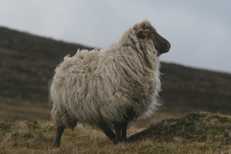 A ewe from the Bruntland croft