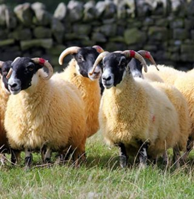Hexham blackface ewes