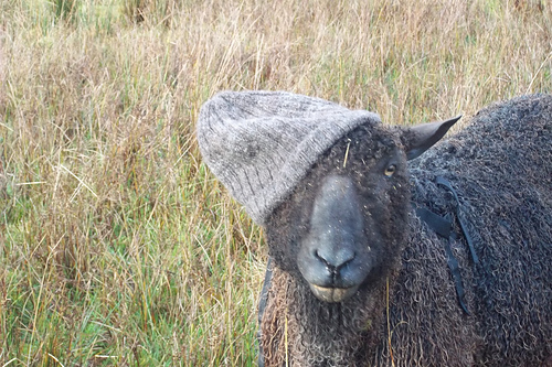Kate's Wensleydale, Sebastien, modelling a hat made for her by one of her sponorers, Scruftydog