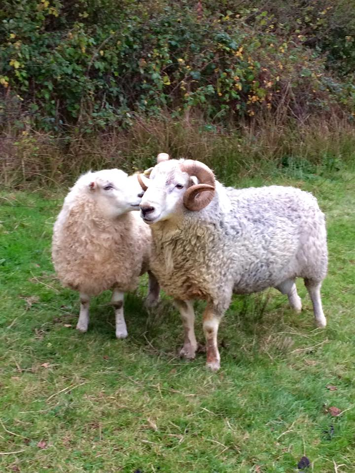 Courting. Two of Paula's Whitefaced Dartmoor sheep