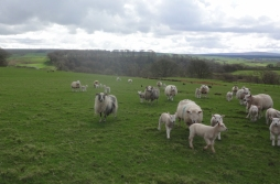 Soft Fell ewes – and three Icelandics – with their lambs