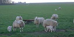 Texel sheep on Texel