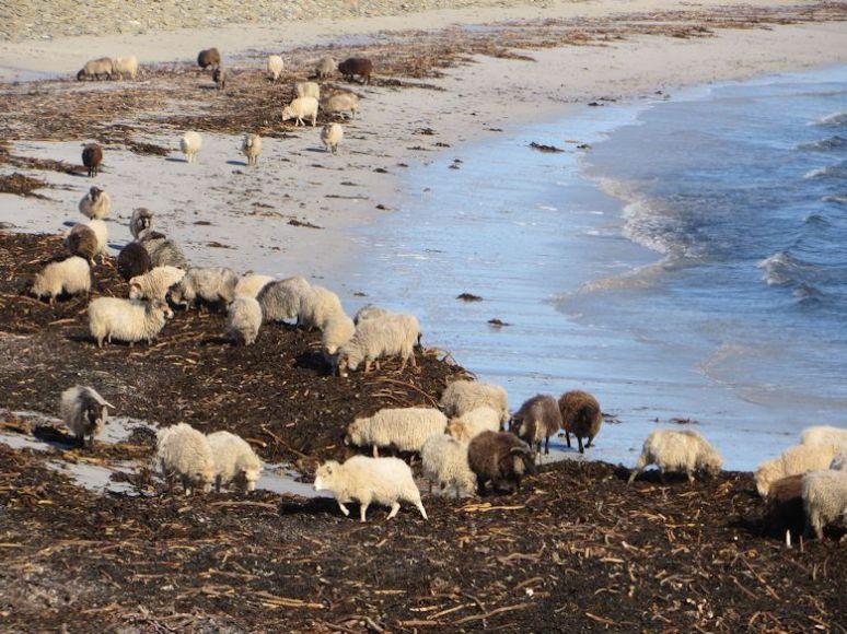 North Ronaldsay sheep eating seaweed