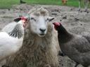 """hens selecting best wool for an easter bonnet"" - Lee Hawkins"