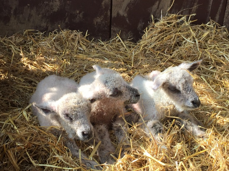 The bouncing triplets - less than one hour old!