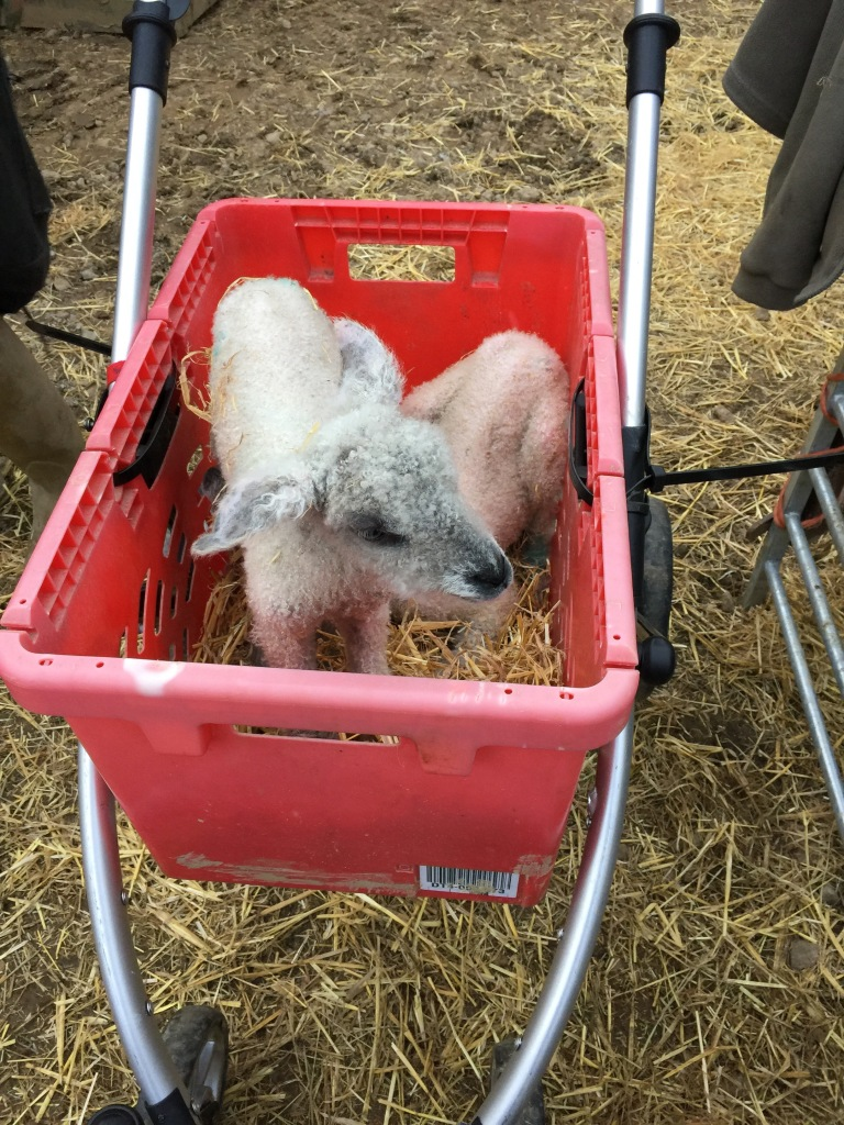 Our home-made lamb pram