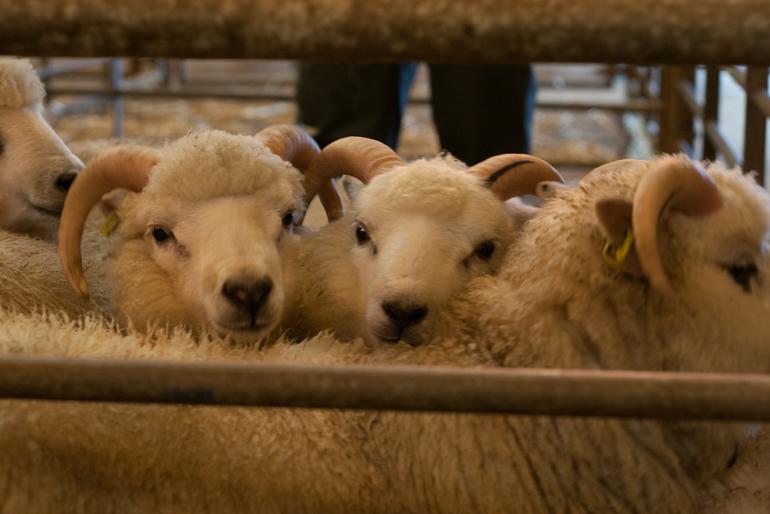 Shetland Ram Lambs at the Flock Book, Shetland Wool Week 2015