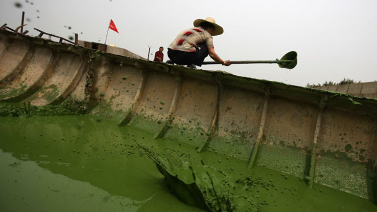 06/10/07, Wuxi, Jiangsu Province, China. In May of 2007, a bloom of toxic cyanobacteria (also known as pond scum) erupted on Lake Tai (or Taihu in Chinese), as a result of emissions and dumping from the hundreds of chemical factories on the shore of the lake. Local fisher women use helmets attached to wooden sticks to remove algae on Tai lake in Wuxi, Jiangsu Province, China. Photo Credit: Chang W. Lee/The New York Times Assignment# 30044687D Water Pollution on Taihu Lake, Wuxi, Jiangsu Province, China
