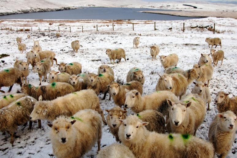 Shetland sheep!