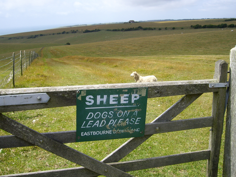 SHEEP - keep dogs on a lead on the Downs!