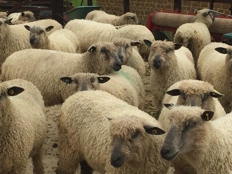 sheep on Home Farm Wensleydales