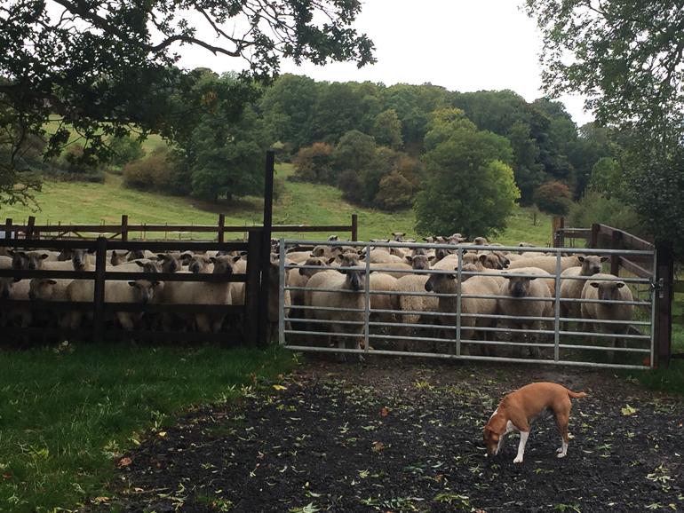 Sheep at Home Farm Wensleydales