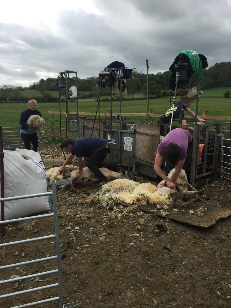 Shearing at Home Farm Wensleydales