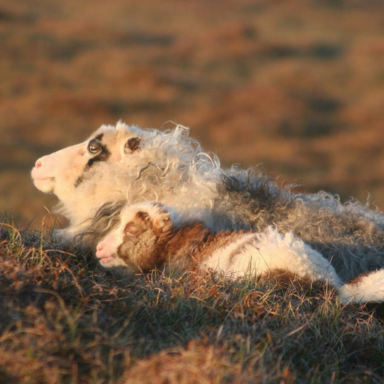 """You really love me best, don't you, Mum?"" Foula lamb and ewe photographed by Opallady #wovember2015"