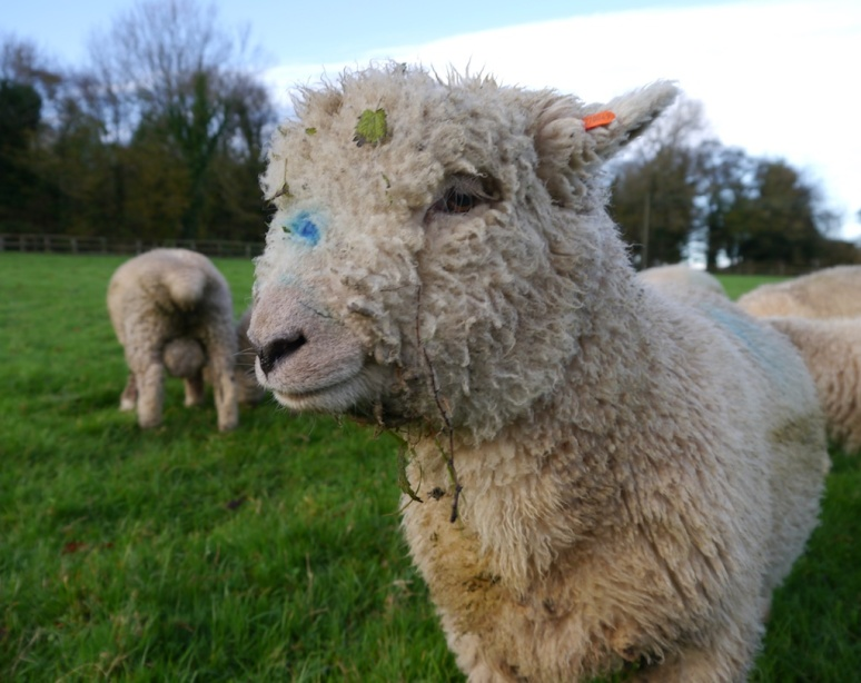 Southdown ram lamb from the Nepcote Flock