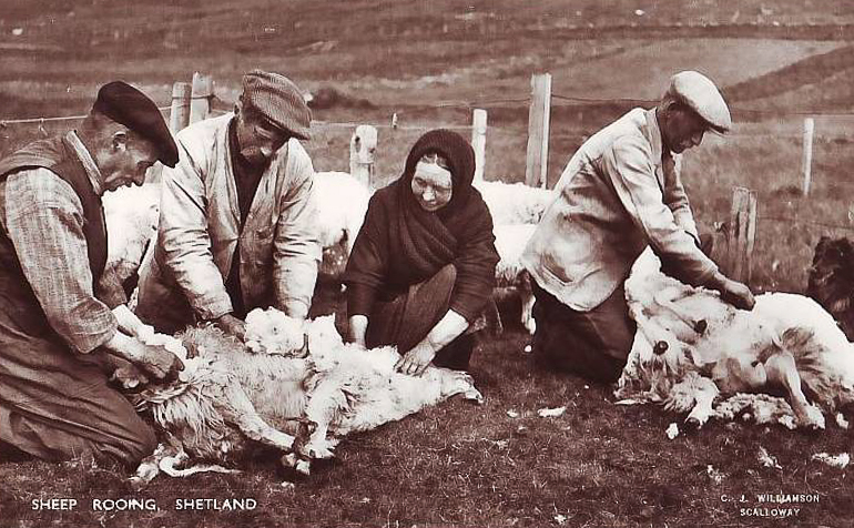 This postcard shows men and women rooing sheep together on Shetland