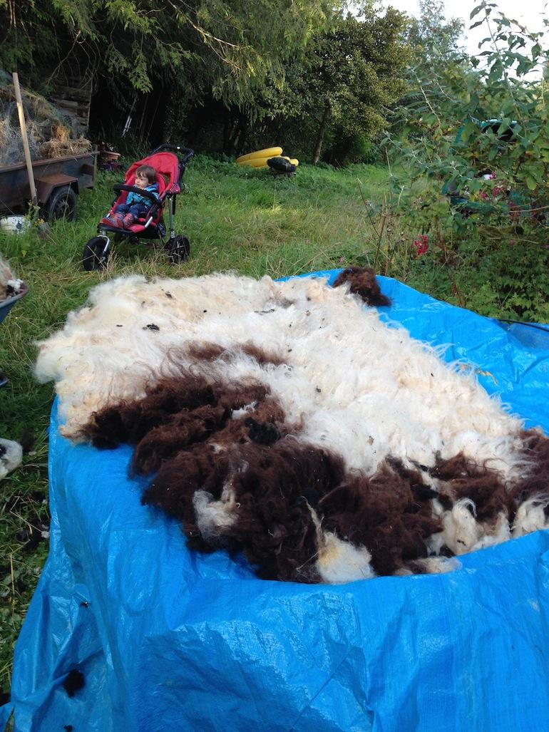Watching Shearing Year 2